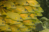 Yellow goatfish — Stock Photo