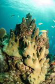 Caribbean coral reefs — Stock Photo