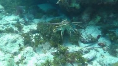 Caribbean spiny lobster — Stock Video