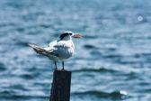 Sea tern — Stock Photo