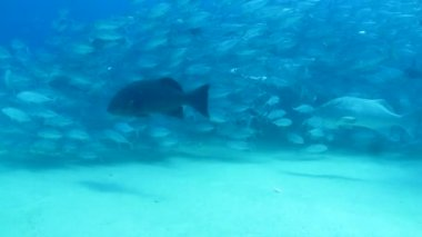 Grouper from the reefs — Stock Video
