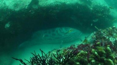 Grouper z cabo pulmo — Wideo stockowe