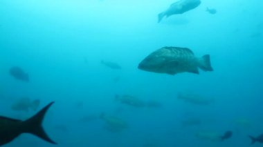 Groupers from cabo pulmo — Vídeo de Stock