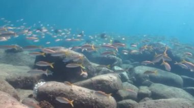 Goatfish in the pacific — Stock Video