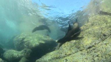 Californische zeeleeuw — Stok video