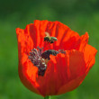 Bee over poppy flower — Stock Photo #45509735