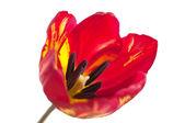Red tulip macro — Stock Photo