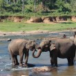 Two elephants embracing each other their trunks — Stock Photo #48318133