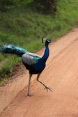 The peacock crosses the road. National park Yala, Sri Lanka. — Stock Photo