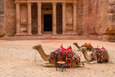 Petra. Camels at the Treasury — Stock Photo