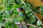 Pyrrhura de papagaio — Fotografia Stock