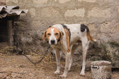 Old Hunting dog near his kennel — Foto de Stock