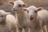 Lambs white closeup — Stock Photo