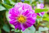 Garden dahlias at Mae Fah Luang Garden — Stock Photo