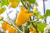 Solanum mammosum plant — Stock Photo