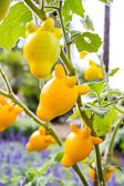 Solanum mammosum plant — Stock Photo