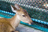 Hog deer (Hyelaphus porcinus) — Stock Photo