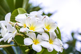 Bílé a žluté keře květiny — Stock fotografie