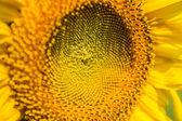Sun flower fältet — Stockfoto