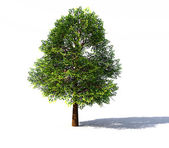 Deciduous tree rendered — Stock Photo