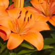 Close up of Asiatic Lily — Stock Photo #45150201