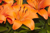 Close up of Asiatic Lily — Stock Photo