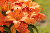 Asiatic Lillies in Bloom — Stock Photo