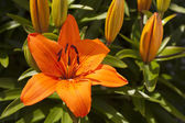 Orange Asiatic Lily — Stock Photo