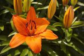 Orange Asiatic Lily — Stock Photo