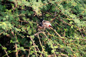 Red- whiskered Bulbul — Stock Photo