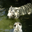 White tigers — Stock Photo #46294021