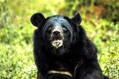 Himalayan Björn — Stockfoto