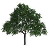 Tree Aesculus Glabra — Stock Photo