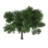 A deciduous tree isolated on white background — Stock Photo
