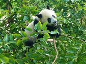 Baby panda — Stock Photo