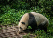 Panda Chengdu — Stockfoto