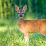 ������, ������: Roe deer cub bambi