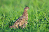 Female pheasant — Stock Photo
