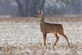 Roe deer in winter — Stock Photo