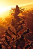 Marijuana plant — Stock Photo