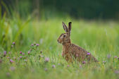 Brown hare — Stock Photo