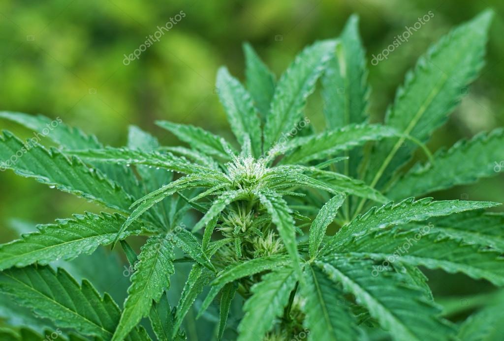 Plante de cannabis au début de la floraison — Photographie UrosPoteko © #51688719