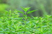 Common nettle at flowering stage — Stockfoto