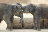 Elephants touching each other gently — Stock Photo