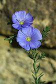 Flores de transilvania — Foto de Stock