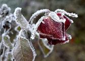 Frosty grape — Stock Photo