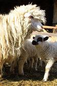 Sheeps on farm — Stock Photo
