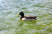 Duck  in the lake — Stock Photo