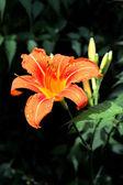 Flowers from Transylvania — Stock Photo