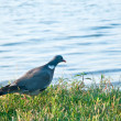 Wood pigeon. (Columba palumbus) — Stockfoto #45509259